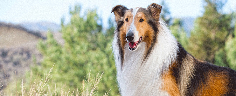 Mayweather v McGregor 5 Sporting Contest Lassie